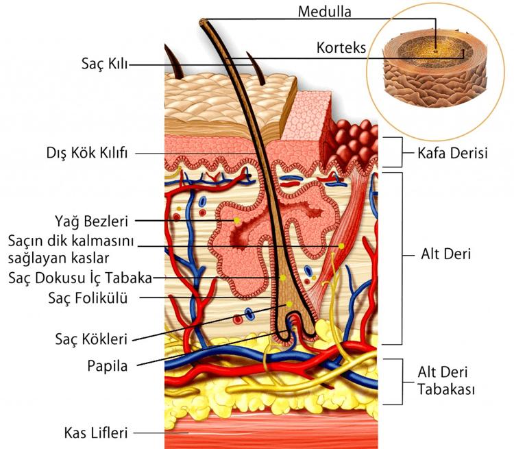 Saç Anatomisi ve Yapısı